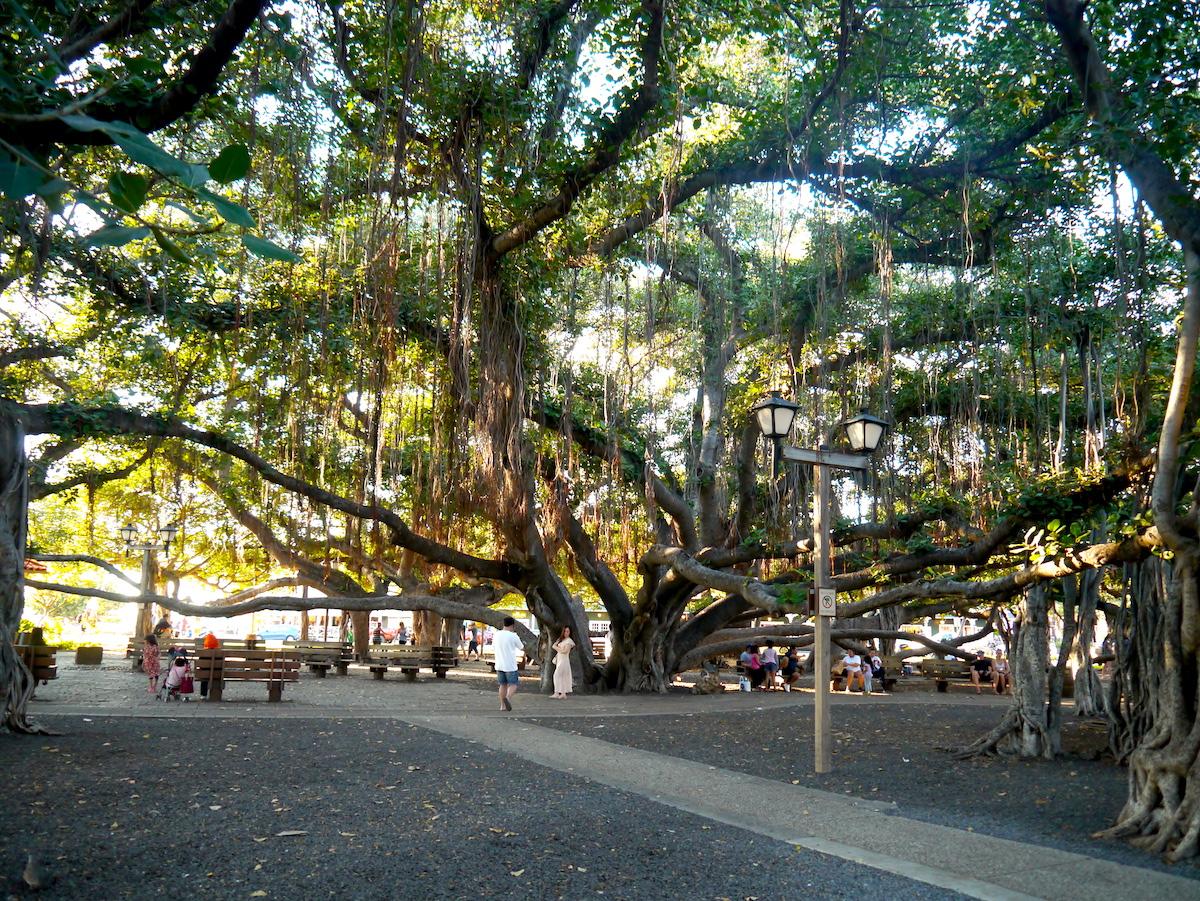 Lahaina, Banyan Tree